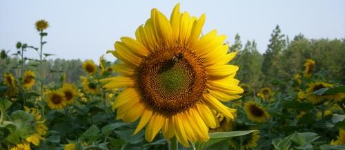 sunflower for website